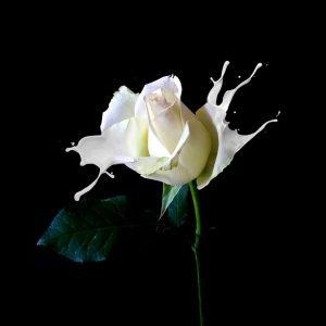 white-rose-splash-effect-zakeydesign.com